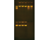 Purification of the Restriction Enzyme Eco RI
