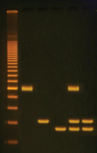 identification of foodstuffs from gmos  u00bb biotek