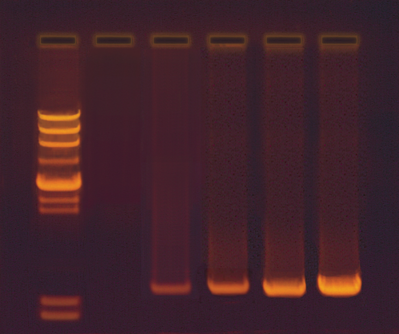 amplification of dna by pcr  u00bb biotek