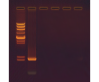Cloning of a PCR Amplified Gene