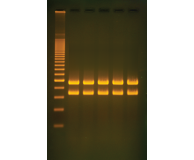 Mitochondrial DNA Analysis Using PCR