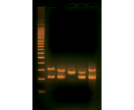 PCR-based VNTR Human DNA Typing (Adapted from FBI Technology)